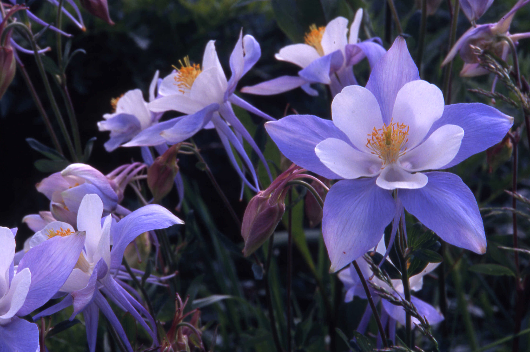 Columbines on Anthracite Mesa, northwest of Crested Butte, CO
