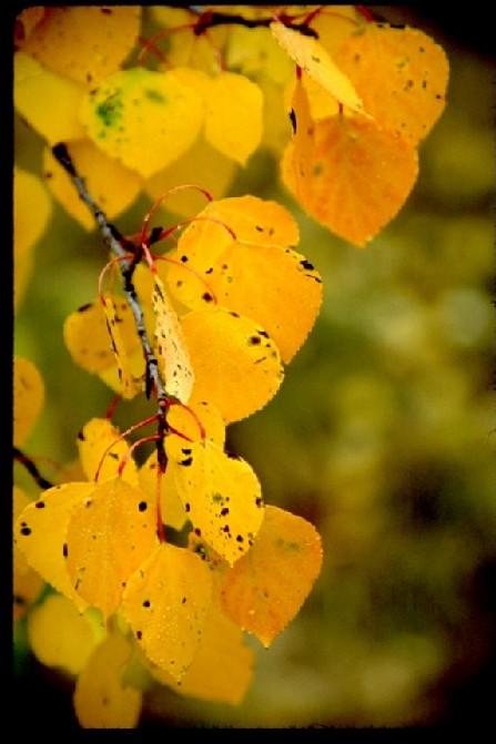 Autumn Aspen Leaves
