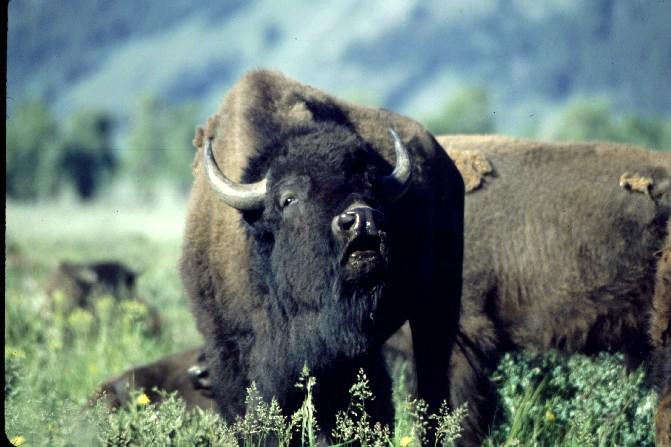Bison at Antelope Flats, Grand Teton Nat'l Park, Wy