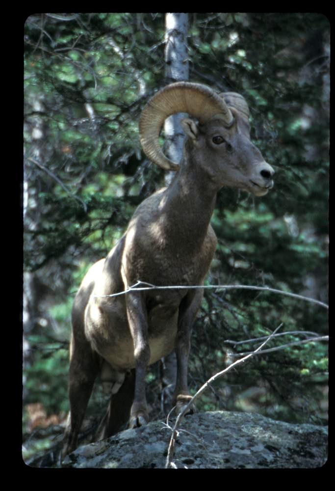 Rocky Mountain Big Horn Sheep near Georgetown, CO