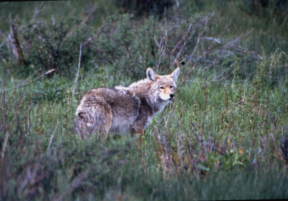 Coyote at Upper Beaver Meadows, RMNP, Co