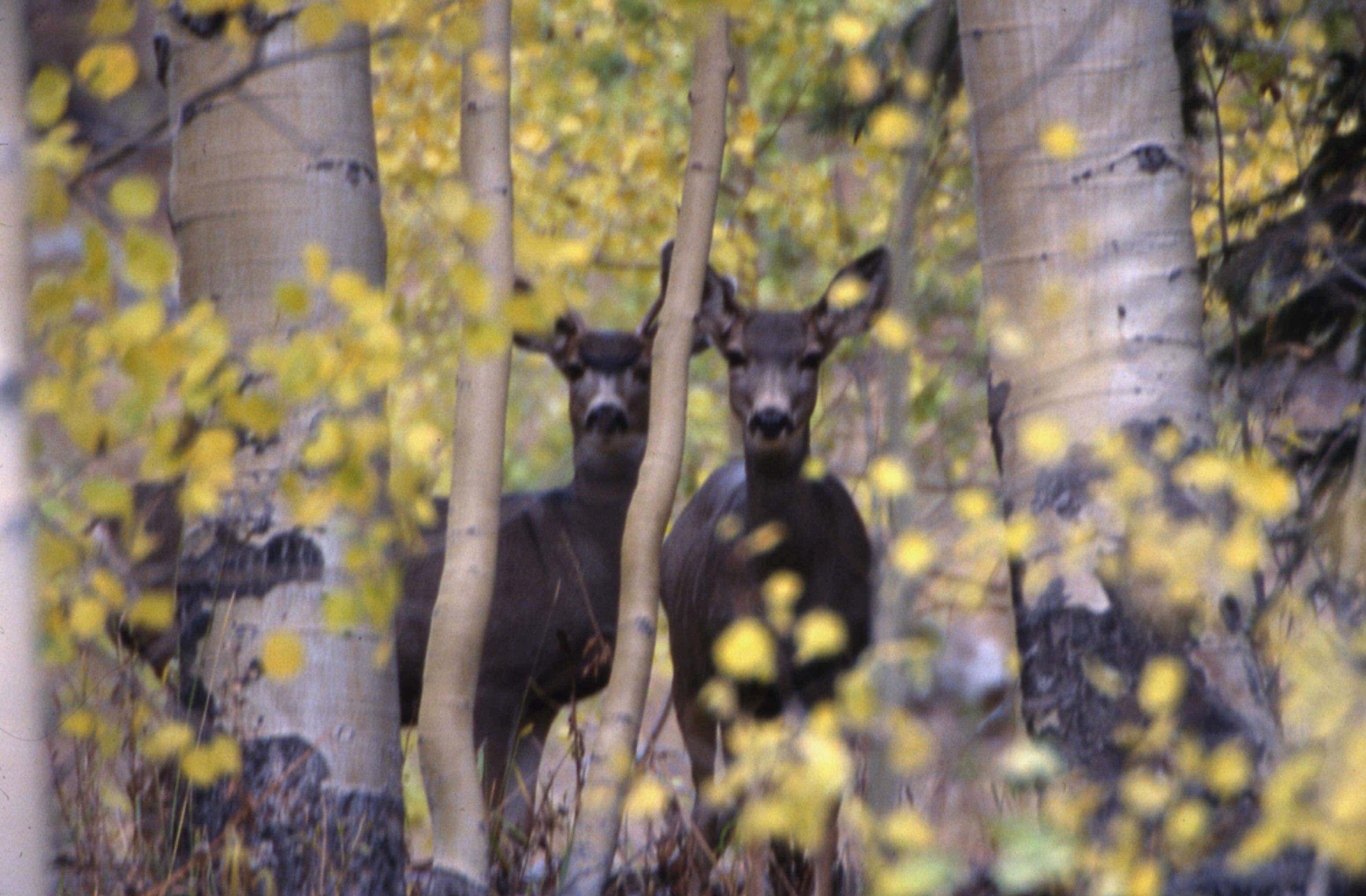 Buck and doe mule deer near Vaughn Resevoir, CO