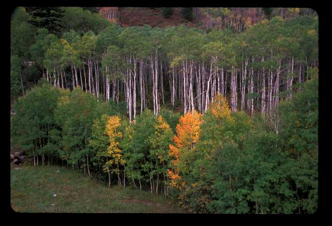 Aspen grove between Redstone and McClure Pass, CO