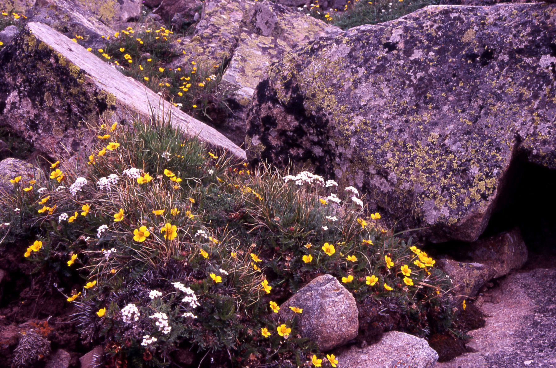 Wildflowers west of Hagerman Pass, Co