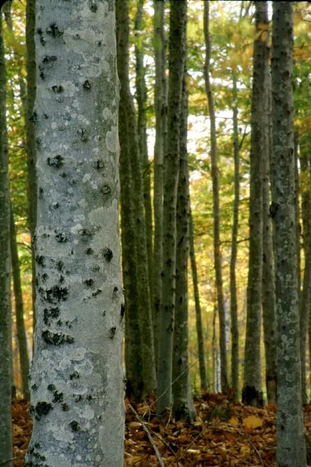 Maine Hardwoods in Autumn