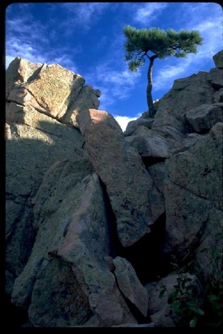 Deer Creek Canyon Pine