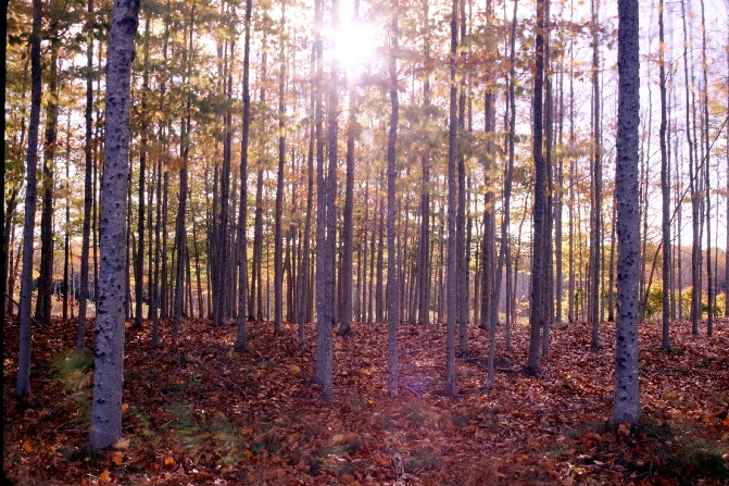 Maine Hardwood Forest in Autumn