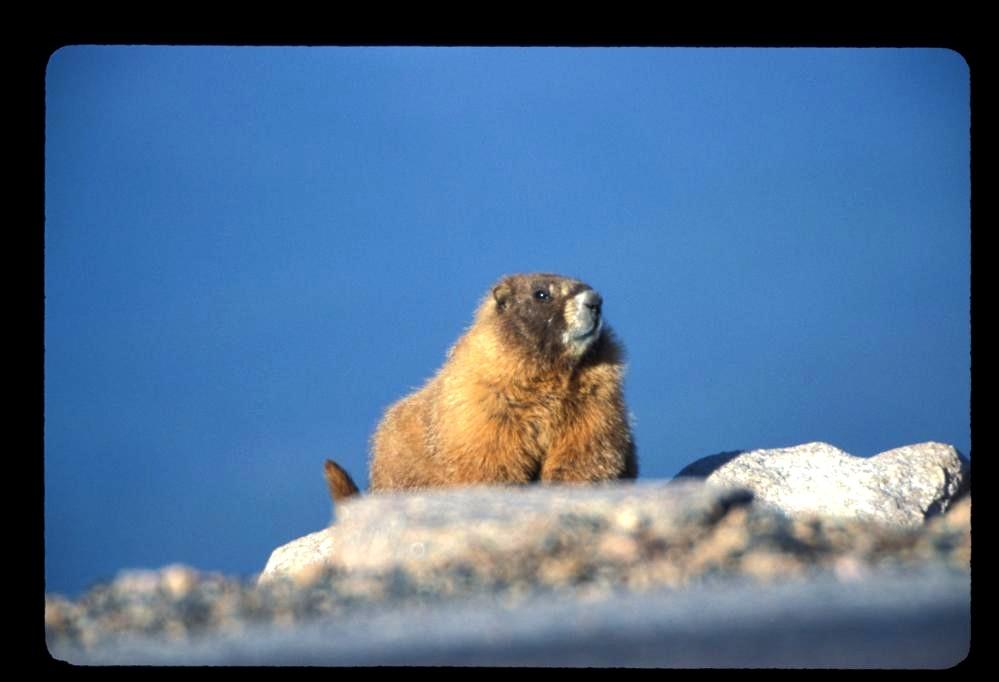 Marmot near the summit of Mt. Evans, CO