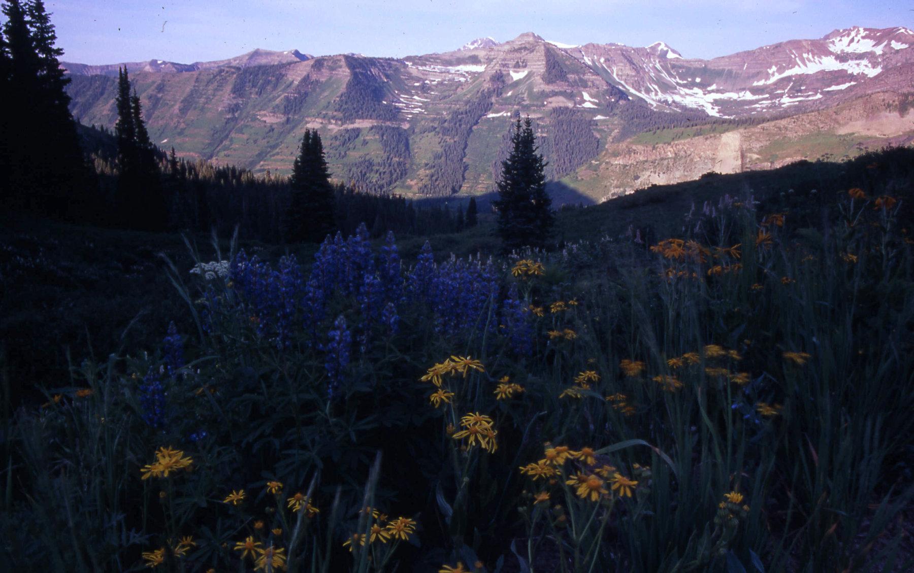 Wildflowers below Paradise Basin