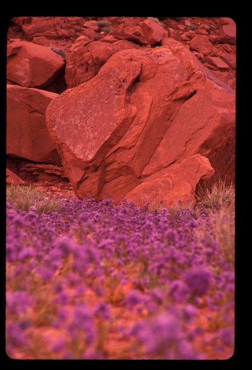 Spring wildflowers at Monument Valley