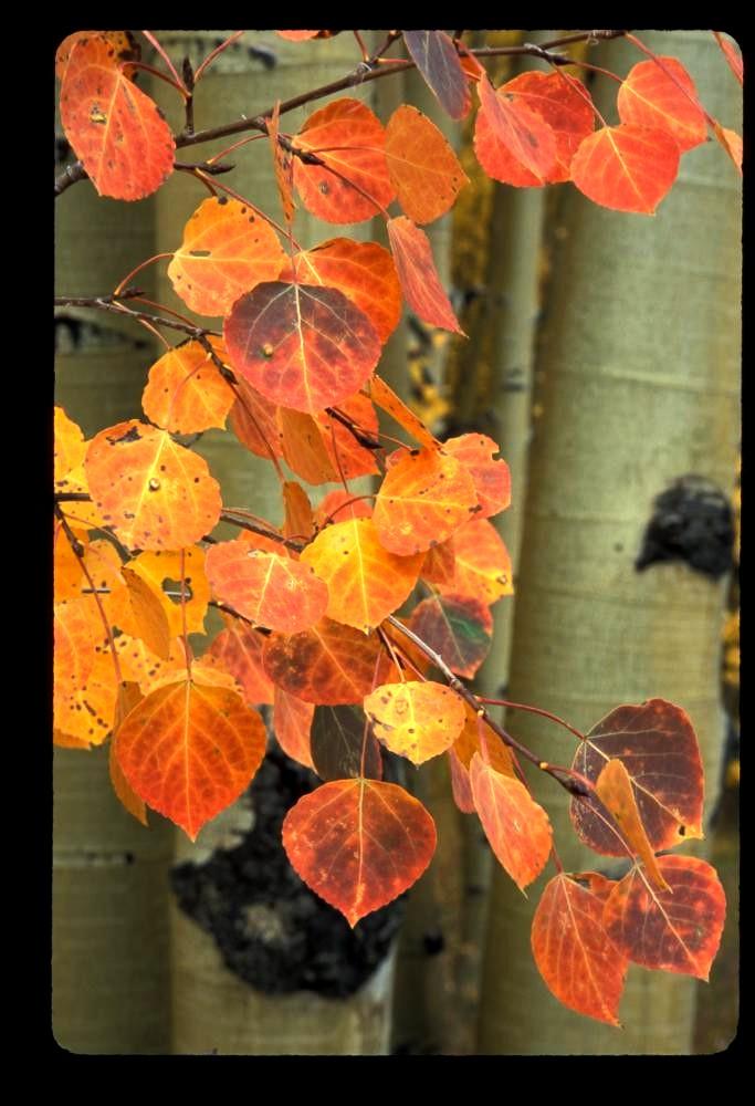 Red aspen leaves, late September