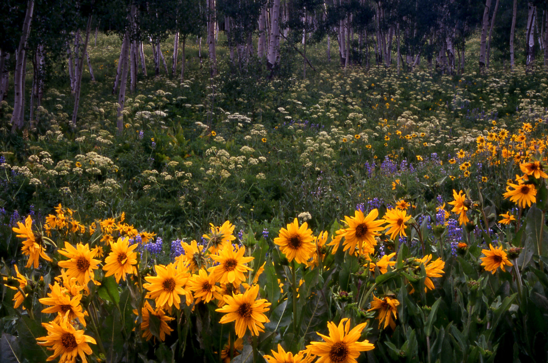 Sneezeweed in an aspen grove outside of Crested Butte, CO