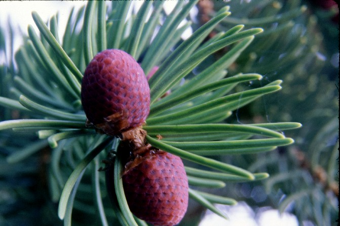 New spruce tree cones in May