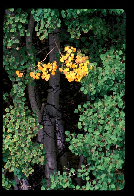Aspen leaves turning color near McClure Pass, CO