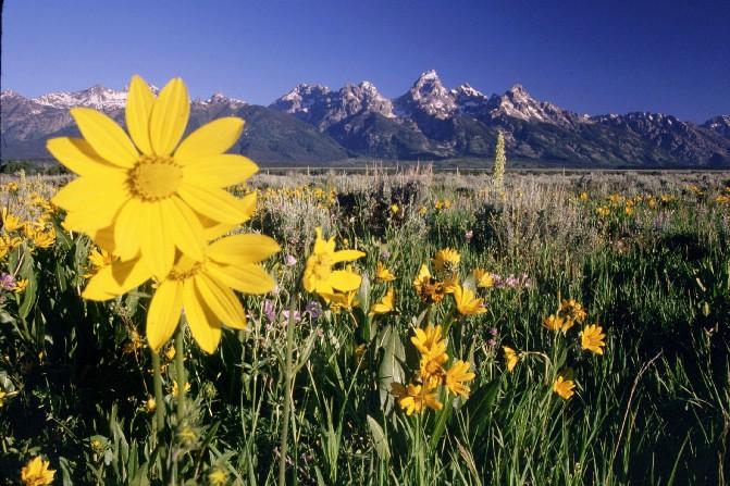 July Wildflowers at Grand Teton Nat'l Park