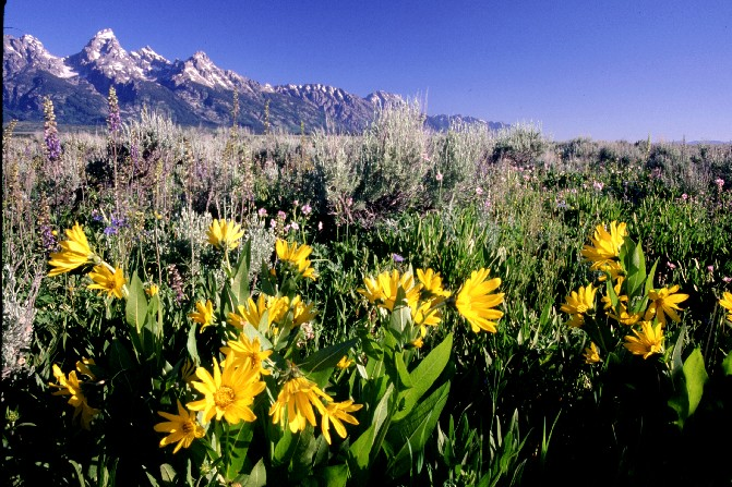 Wildflowers in July at Grand Teton Nat'l Park